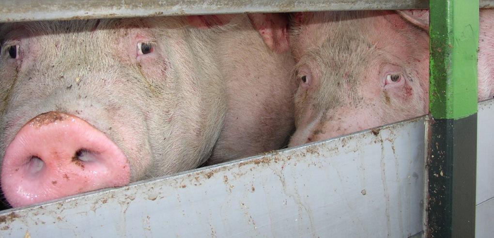 Pigs in EU transport